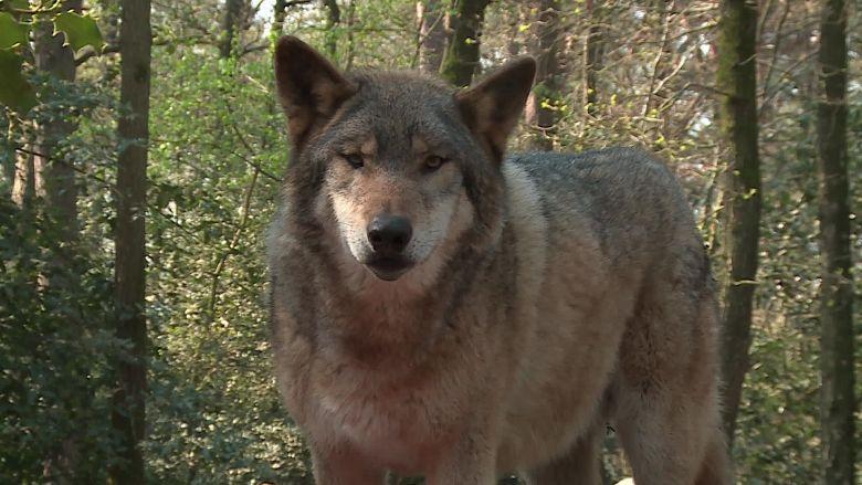 Le loup gris d'Europe, un animal fascinant à observer, une rencontre toujours singulière avec le roi de la forêt / © Daniel Samulczyk / France Télévisions