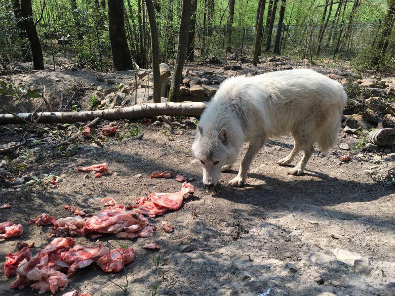 Le loup arctique : une complicité étonnante avec ses soigneurs , une approche à pas feutrés / © Daniel Samulczyk / France Télévisions