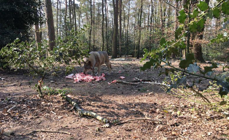 Le parc Argonne Découverte, caché dans la forêt, abrite une meute de loups gris d'Europe, l'attraction depuis quelques années / © Daniel Samulczyk / France Télévisions