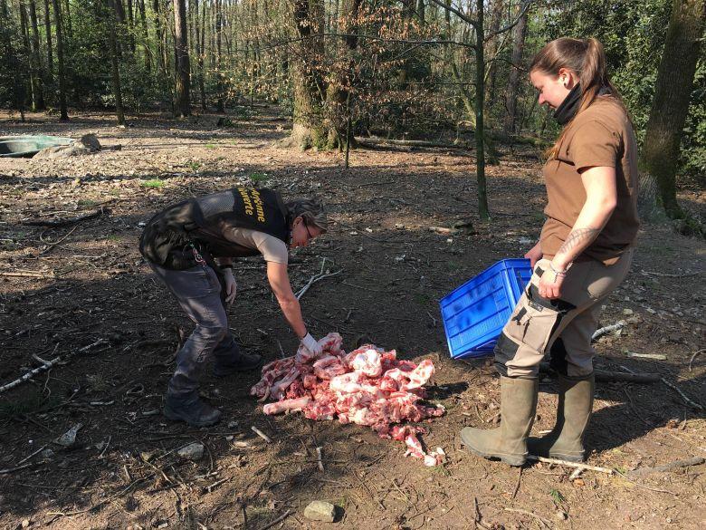 Les bouchers des villages voisins fournissent des restes de viande pour le repas des loups, servi par Coralie et Orlane, les soigneuses du parc. / © Daniel Samulczyk / France Télévisions